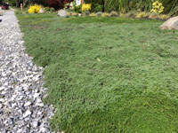 Plant Creeping Thyme as a lawn alternative